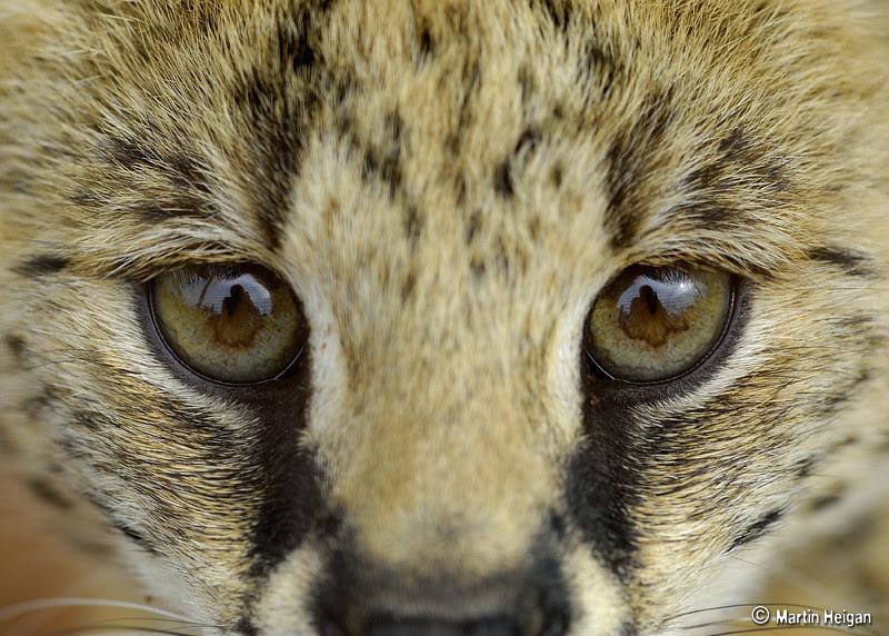 Serval Cub Portrait A Portrait Of A Very Playful Little