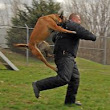 Personal Protection Dogs for sale, guard dogs, family protection dog traning.