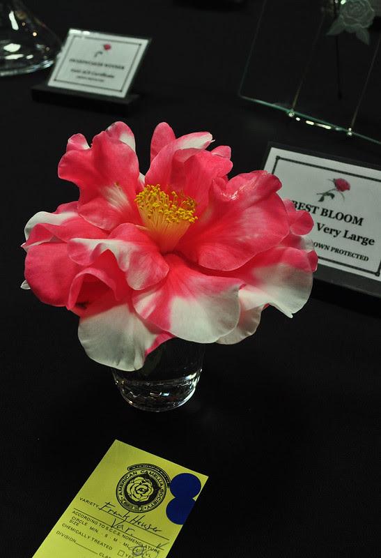 Camellia 'Frank Houser Variegated'