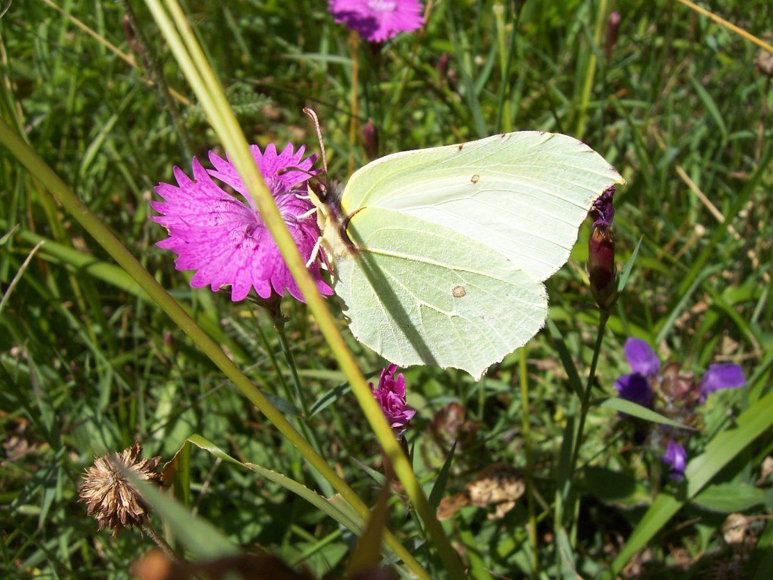 Photo de papillon : citron (gonopteryx rhamni) sur fleur d'oeillet
