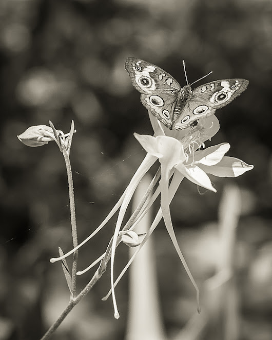 Moth On Flower In Black And White by Sarah Beth Smith