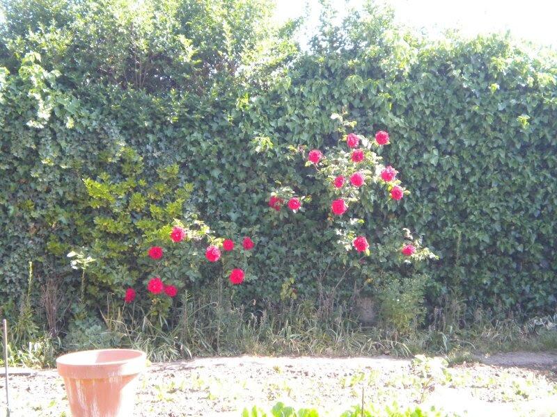 rosier sur mur de verdure