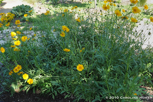 Drooping coreopsis