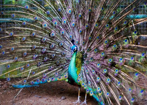 Download 740+ Foto Gambar Burung Merak Indonesia  Terbaik
