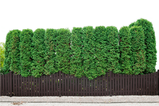 Use Evergreen Shrubs for a Natural Privacy Fence | Millcreek Gardens