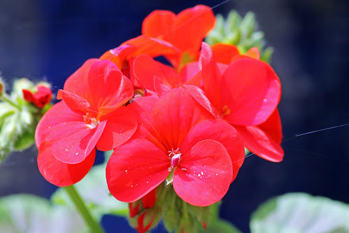Red Geranium by TonyKRO