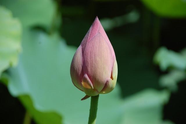 flor_de_lotus_helio_alberto_rocha_mattos_1