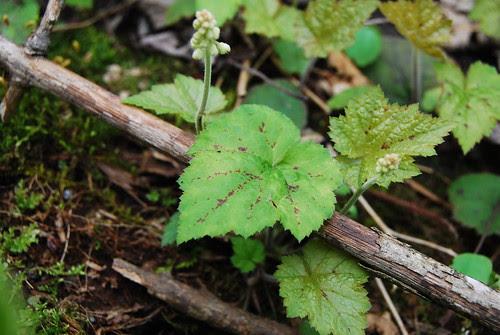 Native Foamflower