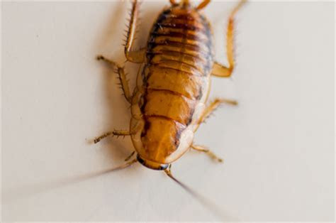 Signs of a Cockroach Infestation   Arrow Termite & Pest Control