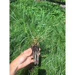 Carex vulpinoidea DP50 Plugs   Conservation Quality Plants by ArcheWild