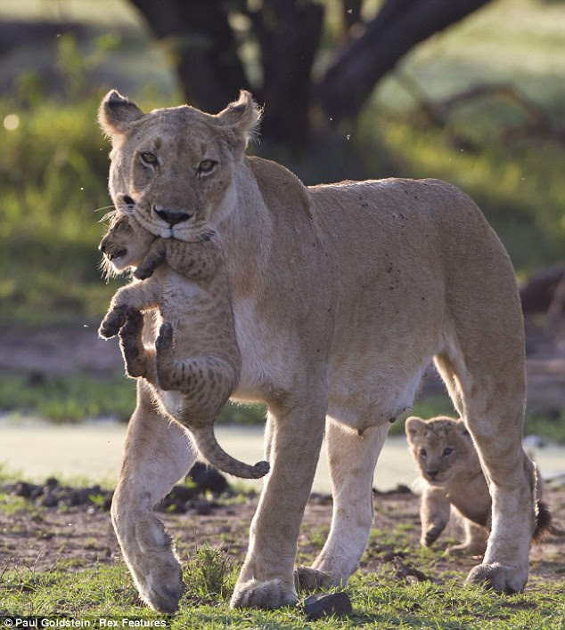 Look who's back: The little lion cub follows its mother and its sibling