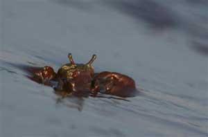 cangrejo bañado en petróleo