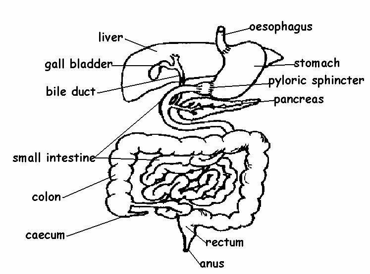 Digestive_system_labelled