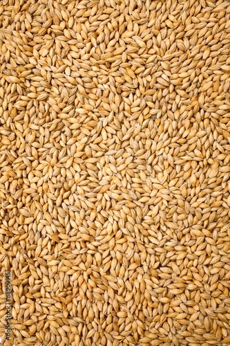 Barley or jau the desi drink which may be the key to weight loss as well as belly fat :