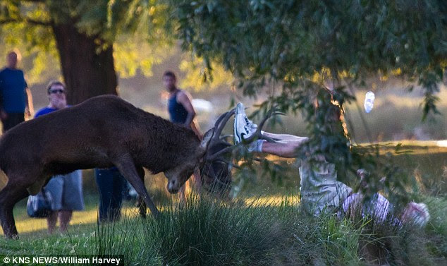 Attack: A man in knocked down by the stag in Bushy Park in south-west London, the latest victim of the rutting animals that have rampaged through the park in recent weeks