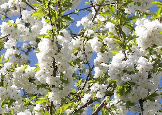 Top 10 Trees for Small Gardens from Practicality Brown