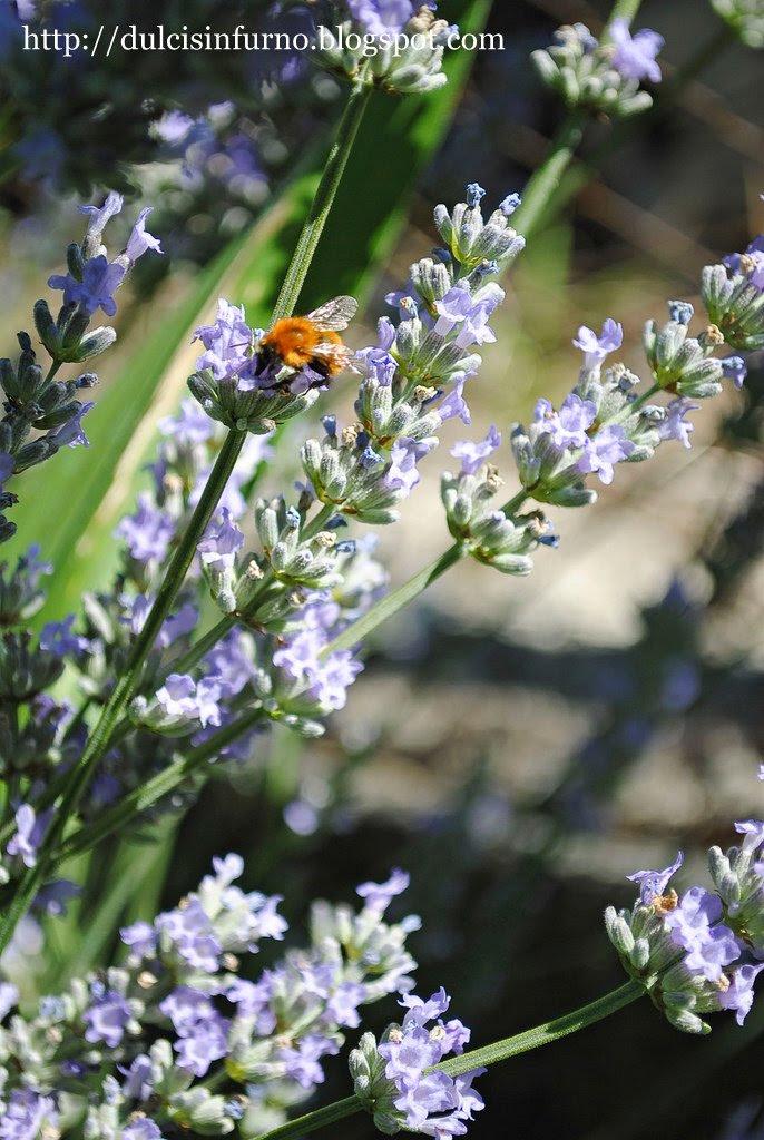 Lavanda e Ape-Lavender and Bee