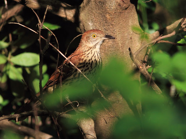 Brown Thrasher 20121009
