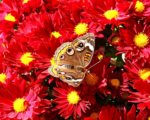 Butterfly on a Mum