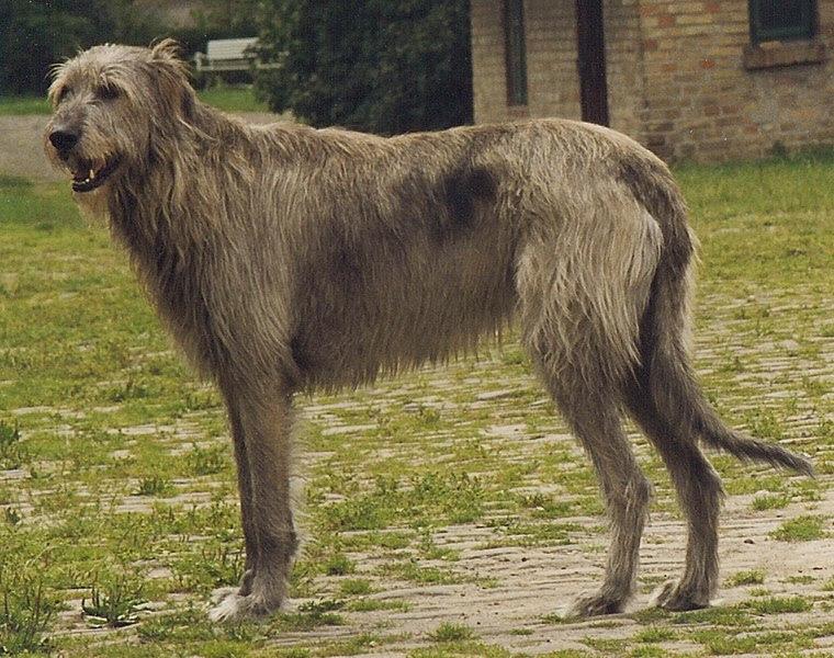 File:Irish Wolfhound Sam.jpg