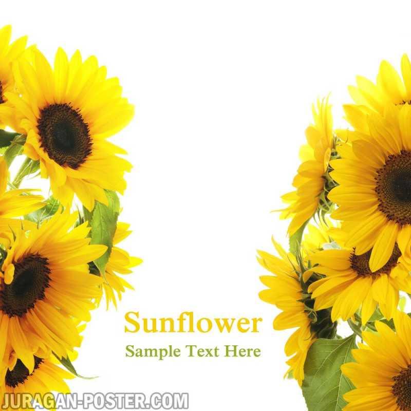 Sunflower Jual Poster Di Juragan Poster