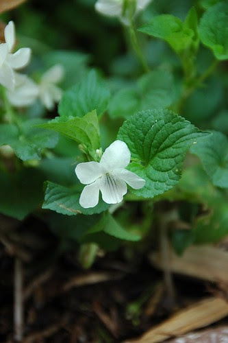 Violet, unknown white-flowering species