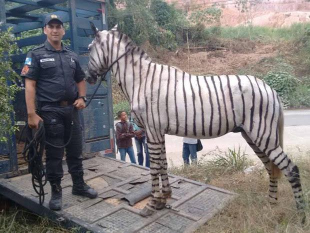 PMs apreenderam cavalo pintado de zebra na Baixada (Foto: Divulgação)