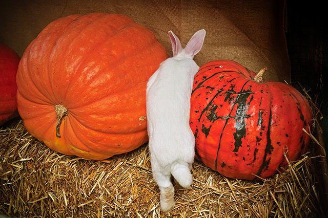 Rabbit and Pumpkins [enlarge]
