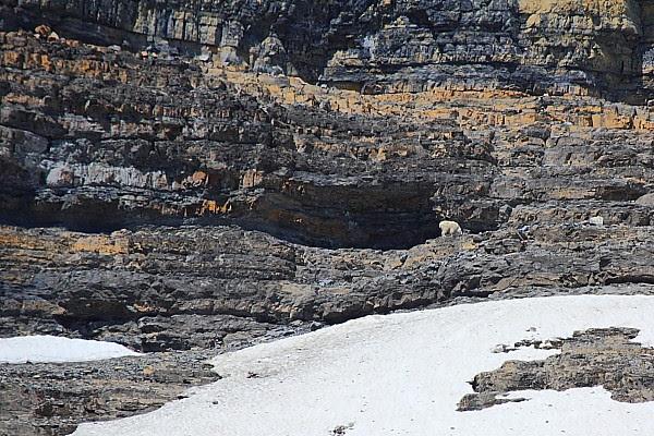 IMG_3610B Mountain Goats
