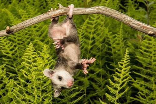 Google Possum Update: Is Google Playing Possum with Local Search?