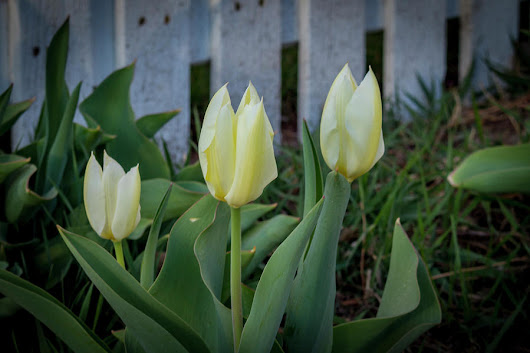 White And Yellow Tulips