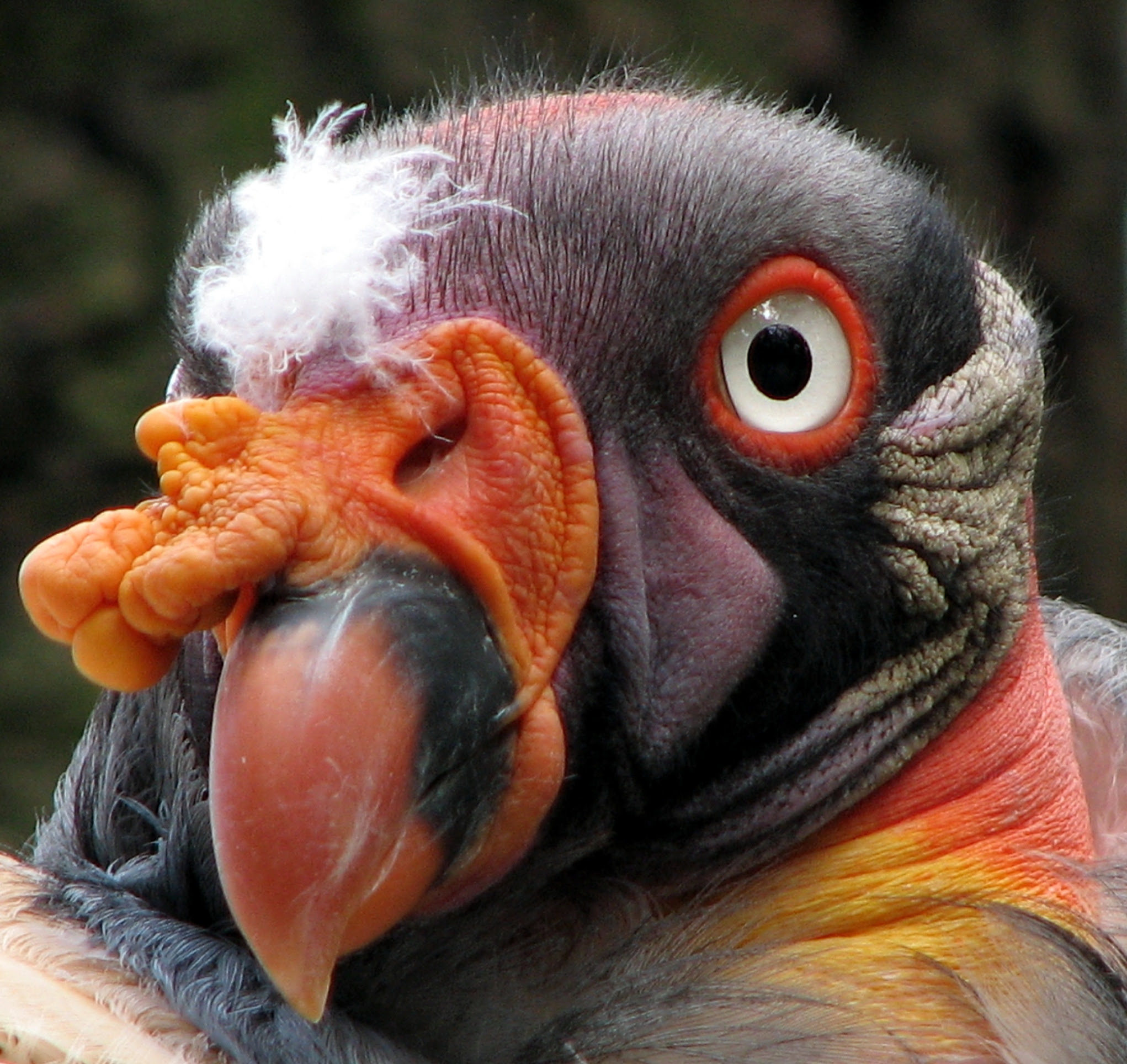 http://upload.wikimedia.org/wikipedia/commons/5/52/Sarcoramphus-papa-king-vulture-closeup-0a.jpg