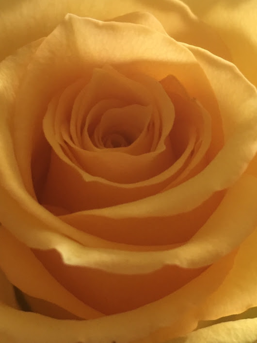 Essential Oil Profile: Rose