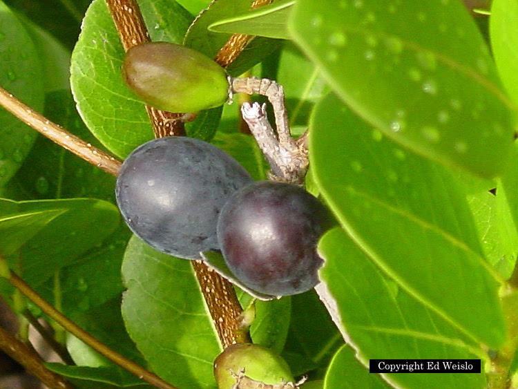 Frutas cultivadas en venezuela for Frutas ornamentales