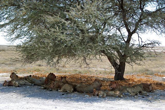 Namibia - Etosha National Park - Lion