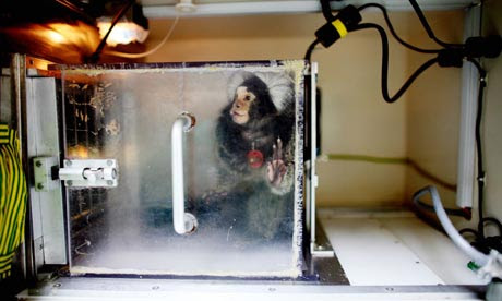 Marmoset monkeys used in experiments are often subjected to precision brain surgery