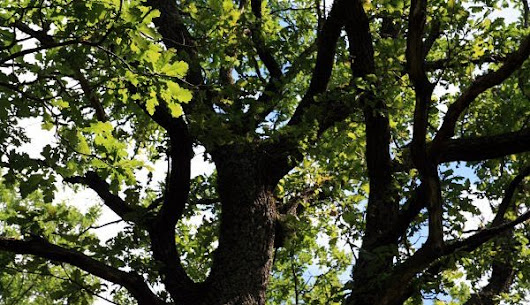 Questions and Answers About Oak Tree Care | Tree Service in Indianapolis