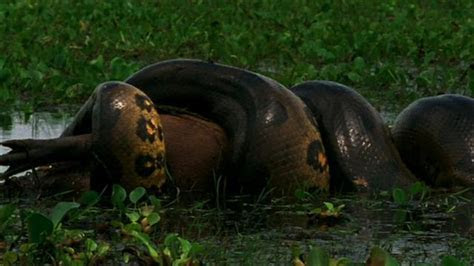 World's Deadliest: Anaconda Devours World's Largest Rodent