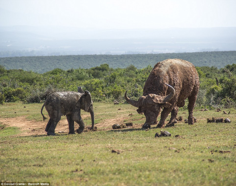 Over-confident: The calf was clearly put out by the presence of the mature buffalo at the watering hole and decided to charge towards him in the bizarre hope that his tiny frame would somehow scare the huge bull into leaving the area