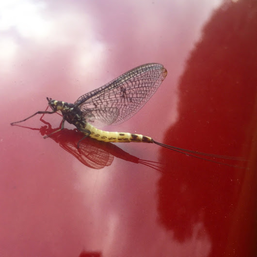 Mayfly Time ! do you know your Lineata & Vulgate from your Danica ?!