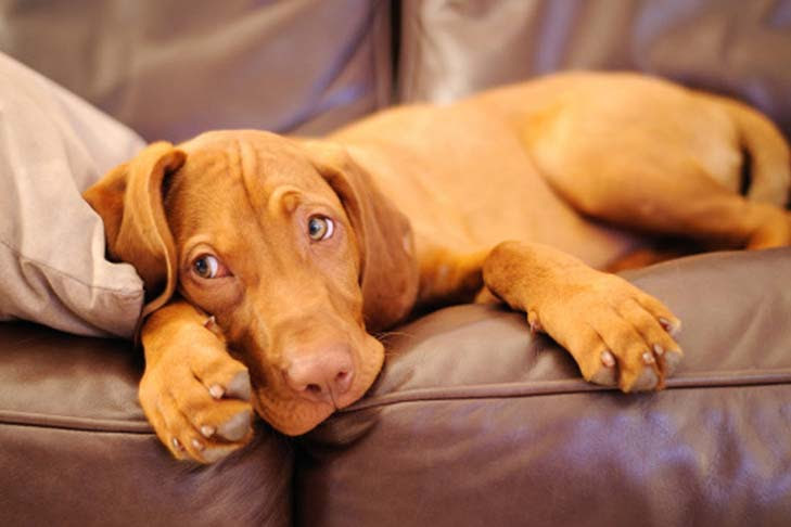 View Breeder Profile: Vizsla Dog Breeder near Alabama, USA