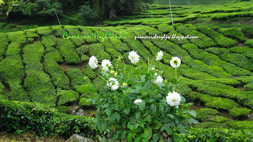 Boh tea farm 10