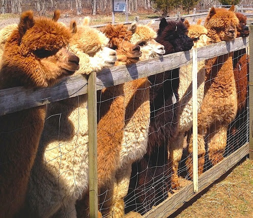 Island Alpaca Farm Blog