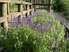 Lavender, my morning surprise (DSCN0315)