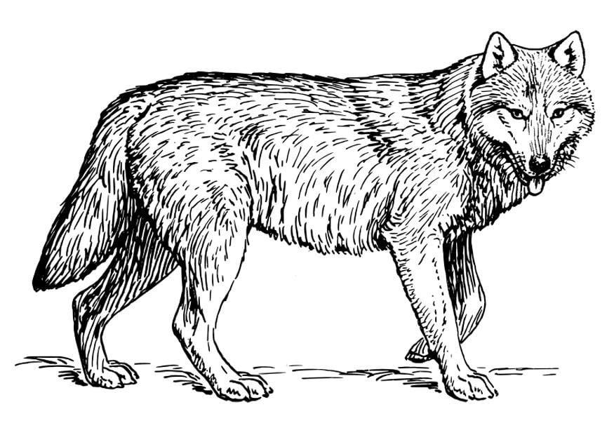 wolf ausmalbilder zum ausdrucken  wolf bilder zum