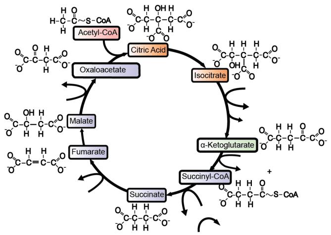 Krebs Cycle: interactive lyrics, diagrams, and flashcards ...
