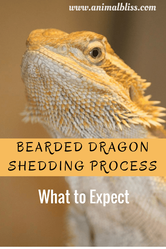 Bearded Dragon Shedding Process - What to Expect in a Reptile Shed