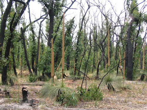 Grass trees amongst the regrowth