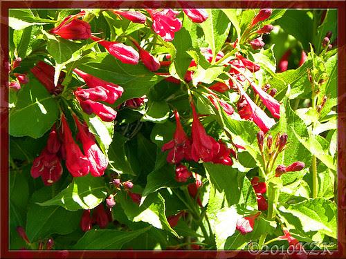 DSCN5128 Red Prince Weigela