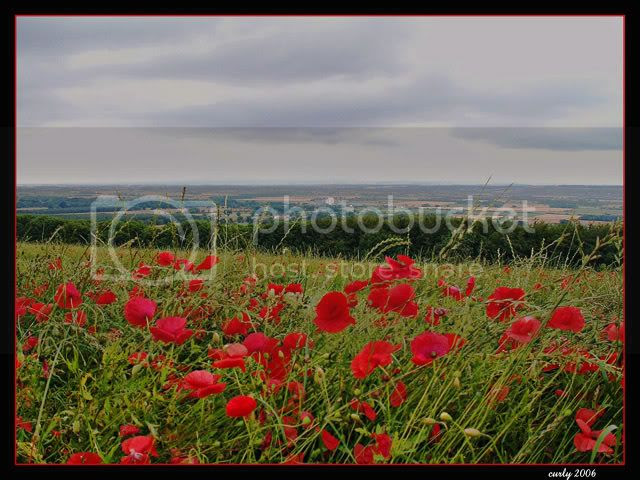 picture of a field of poppies